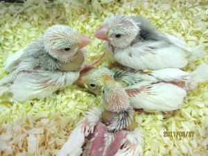 白文鳥0906