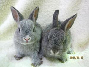 ミニウサギ0117