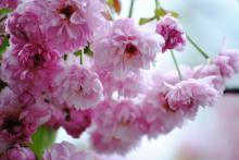 菊桜 (2)