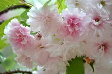 塩釜桜 (2)