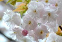 渦桜 (4)