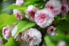 兼六園菊桜 (けんろくえんきくざくら)