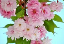 松前琴糸桜(まつまえこといとざくら)