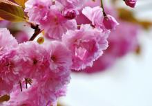 緋桜(ひざくら)