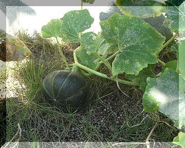 庭のかぼちゃ