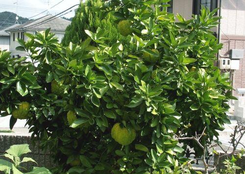 ジャンボ柚子