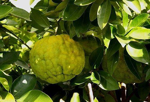 黄色のジャンボ柚子