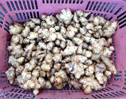 キクイモ収穫冬1