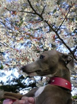ジャック&桜
