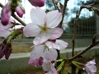 まい桜ちゃん