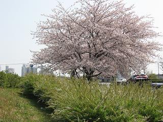 でっか桜♪