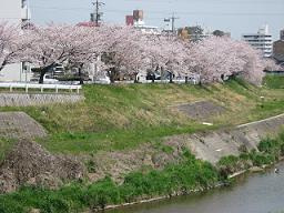 ご近所桜めぐり1