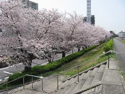 ご近所桜めぐり2