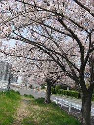 ご近所桜めぐり3