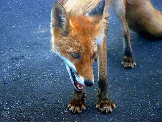 s-b_fox04.jpg
