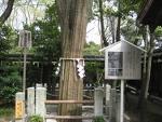 かりんの木(護王神社)