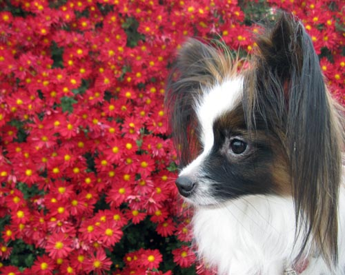 赤い菊とぱぴすけ