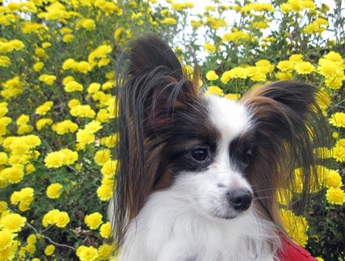 黄色い菊とぱぴすけ