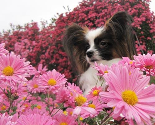 ピンクの菊とぱぴすけ