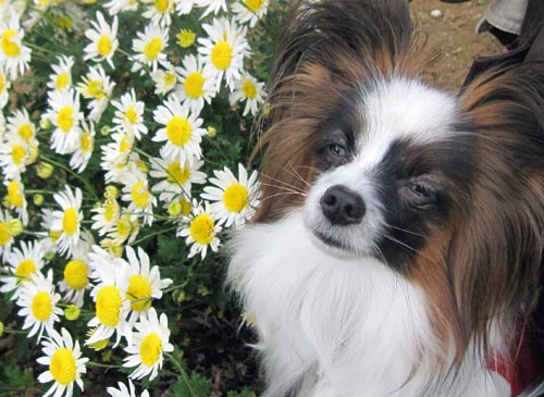 白い菊とぱぴすけ