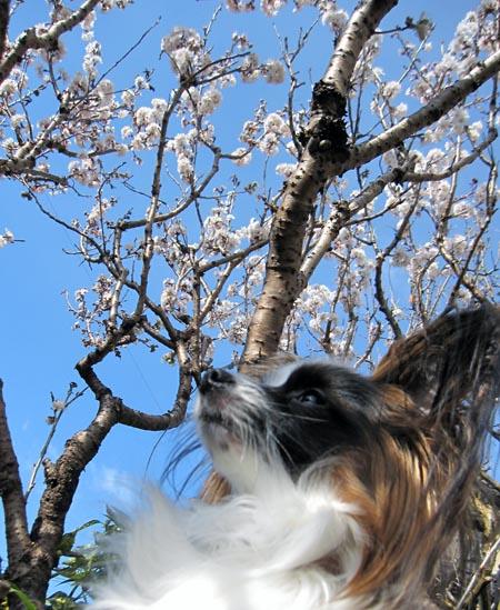 さくらんぼ花ぱぴすけ