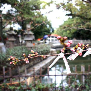 sakura_20120331095824.jpg