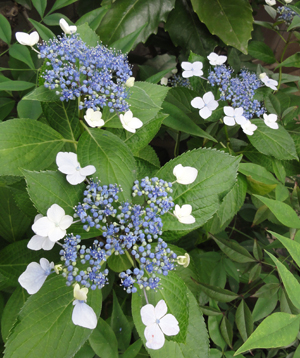 2011.6.9紫陽花blog01