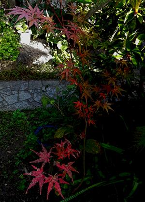 我が家の紅葉blog01