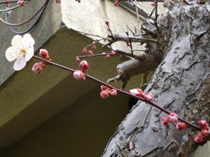 2012.3.12紅梅blog01