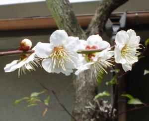 2012.3.12白梅blog01