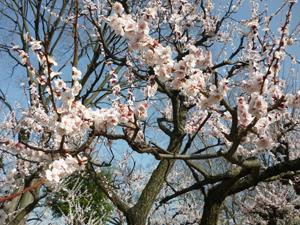2012.3.21大阪城梅林blog01