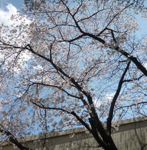 2012.4.4桜blog01