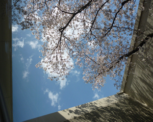 2012.4.4桜blog02