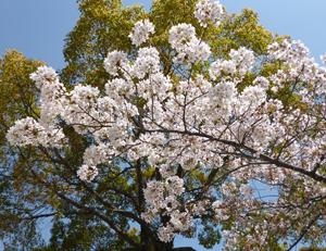 2012.4.18城跡公園桜blog02