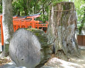 生田神社ご神木blog01