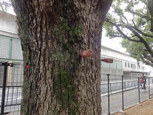 2012.6.9大阪医大楠blog01