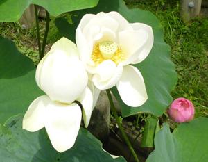 2012.7.15蓮blog02