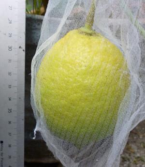 レモンblog01