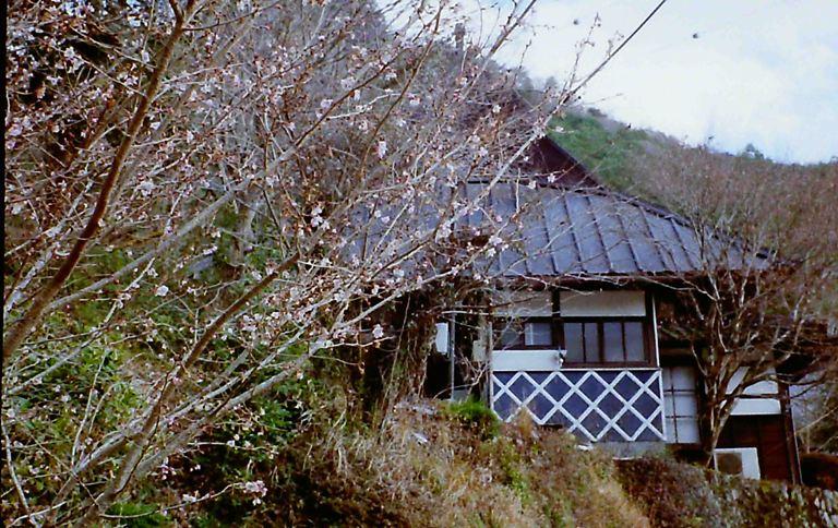 鳳来寺の冬に咲く桜
