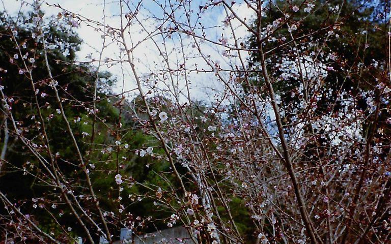鳳来寺の冬に咲く桜-2