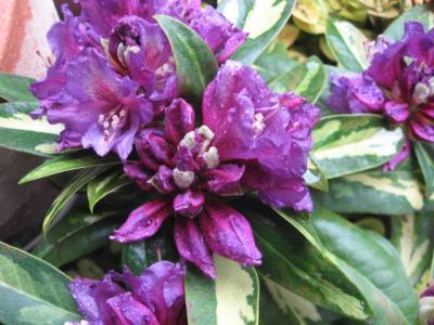 スターパープル 花
