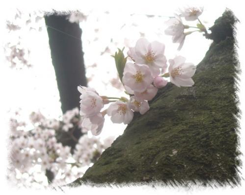 石神井川桜2