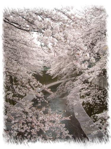 石神井川桜1