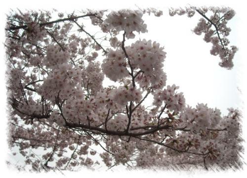 石神井川桜3