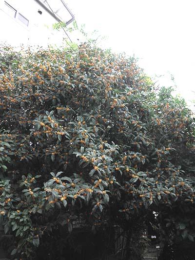 20111006金木犀2011