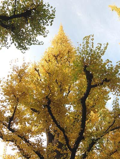 20111129銀杏並木③