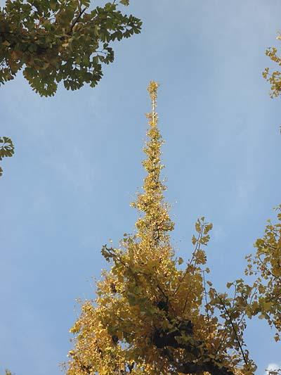 20111129銀杏並木④