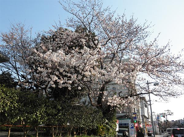 20120405桜①