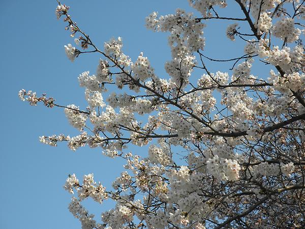 20120405桜②