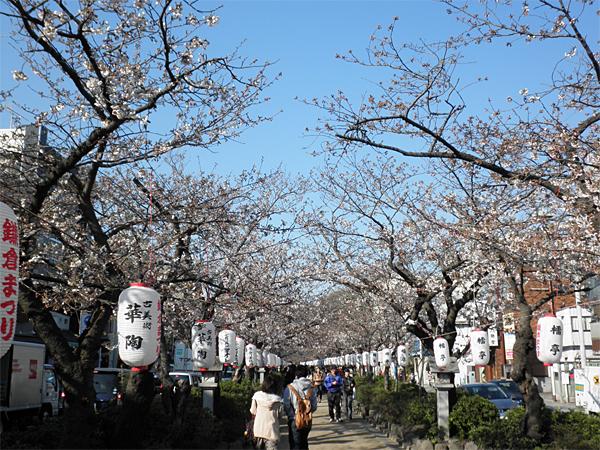 20120405若宮大路の桜①